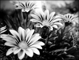 fotos-flores-blanco-y-negro-jardin